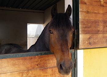 caballo-asomado-350
