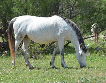 caballo-pastando